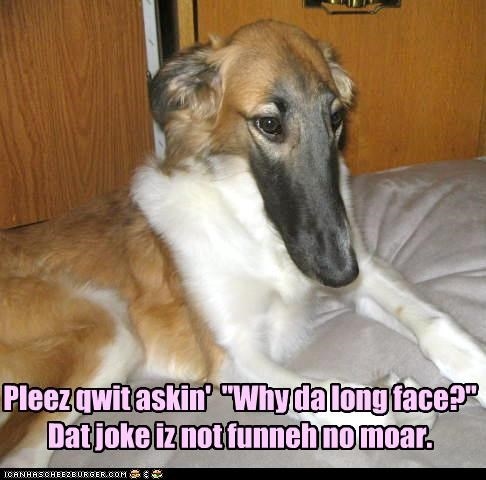 annoyed,joke,long face,mixed breed,not funny,question,sheltie,stop