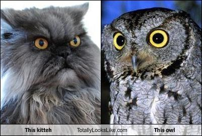 This kitteh Totally Looks Like This owl