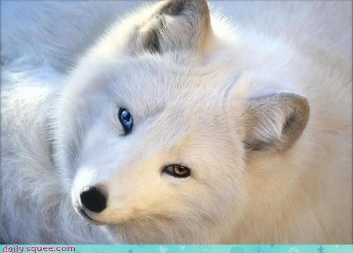 artic,fox,pretty,snow,white
