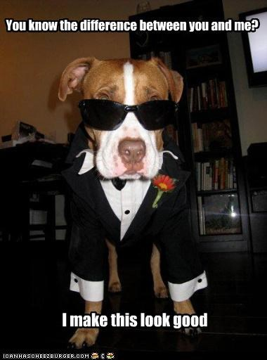 contrast,difference,dressed up,fashionable,looking good,me,pit bull,pitbull,question,rhetorical,suit,sunglasses,you