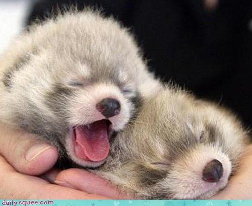 baby,cute,Fluffy,Hall of Fame,red panda,red pandas,squee,yarn,yawning