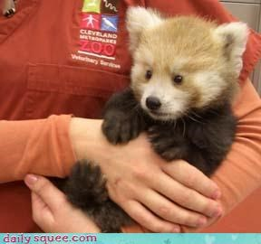 furry,red,red panda,toes,zookeeper