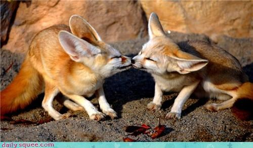 big ears,fennec fox,fennec foxes,fox,kisses