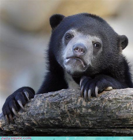 bear,bears,claws,frown,frowning,log,Sad,squee,sun bears