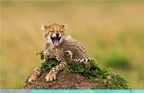baby,big cats,cheetah,cheetahs,crying,cubs,mom,mouth open,savannah cat,squee