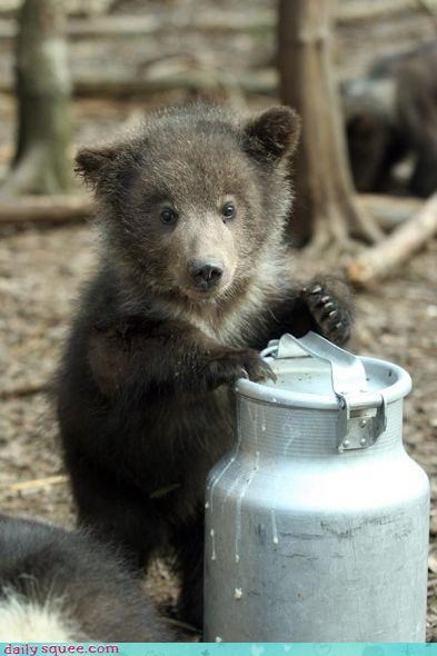 Milk for a hungry bear