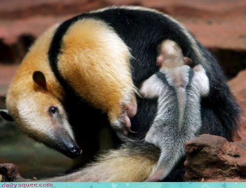 anteaters,Babies,baby,family,mommy,moms,piggyback ride,squee