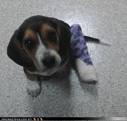 beagle,borked,cast,cute,leg,puppy,puppy eyes,recovering,rescued,themed goggie week