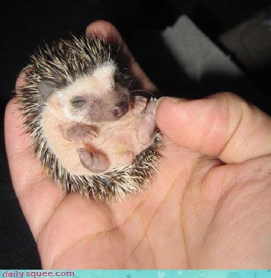 Acting Like Animals: Tiny Hedgehog  = Squeemageddon