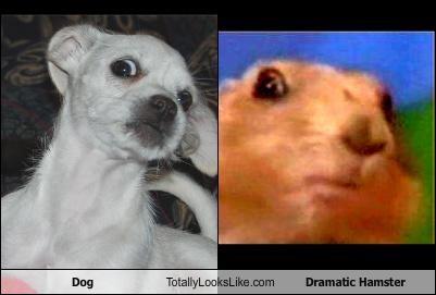 Dog Totally Looks Like Dramatic Hamster