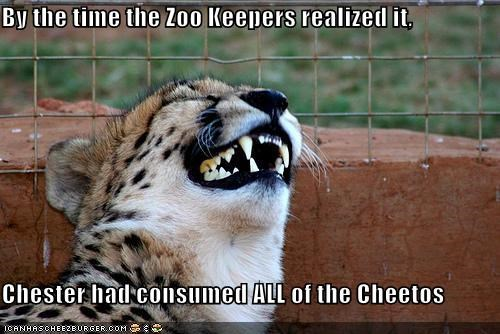 By the time the Zoo Keepers realized it,  Chester had consumed ALL of the Cheetos
