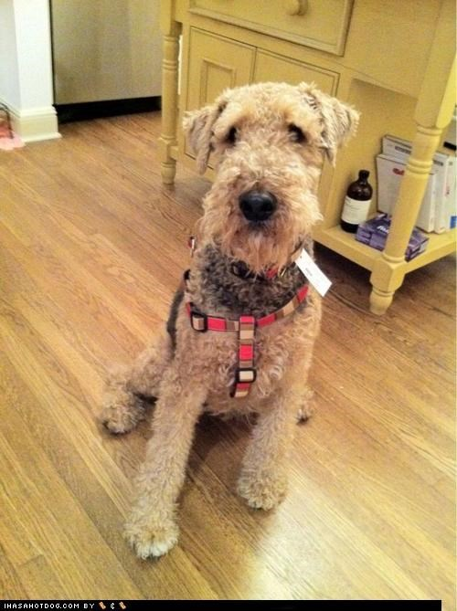 airedale,airedale terrier,fashion,fashionable,harness,themed goggie week,work it