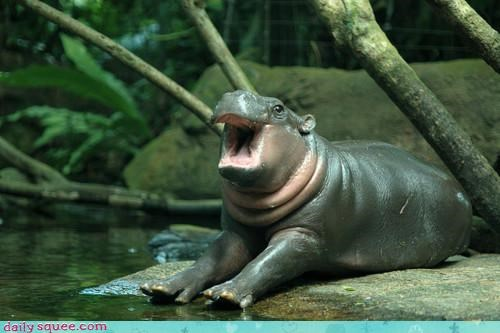 acting like animals,baby,beaming,bring it on,happy,hippo,hippopotamus,optimistic,positive,ready,wednesday