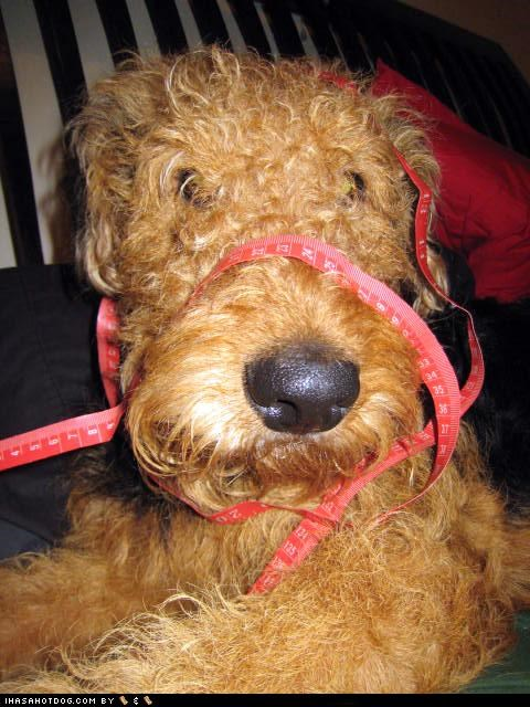 airedale,airedale terrier,doing it wrong,measurement,measuring,measuring tape,tangled,themed goggie week