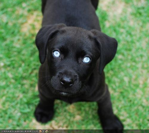 blue,cyoot puppeh ob teh day,eyes,hypnotic,hypnotism,hypnotizing,labrador,puppy,Staring