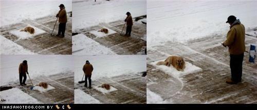 comfortable,comfy,golden retriever,moving,not,shovel,shoveling,sitting,snow,stubborn