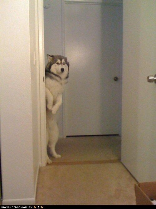 anthropomorphic,bathroom,holding,husky,impatient,need,patience,pee,standing,use