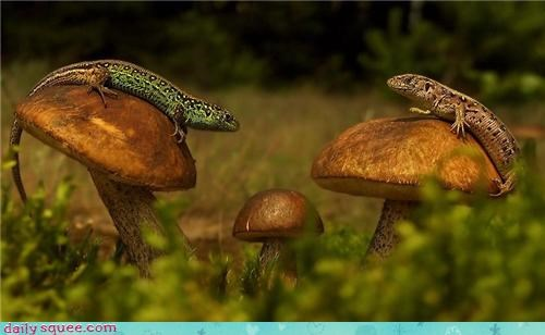 lizards,meeting,Mushrooms
