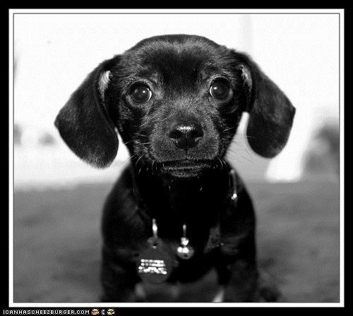 black and white,cant,cyoot puppeh ob teh day,dachshund,eyes,puppy,puppy eyes,resist,Staring