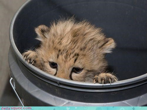 acting like animals,afraid,baby,biting,bucket,cheetah,cub,gnawing,hiding,mean,mistake,peeking,wildebeest