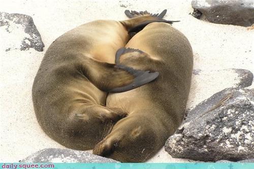 beach,cuddling,pinniped,pun,seal,seals,sleeping,spooning