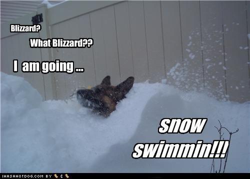 afraid,blizzard,deep,denial,german shepherd,Hall of Fame,not,snow,snowstorm,swimming,unafraid