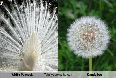 White Peacock Totally Looks Like Dandelion