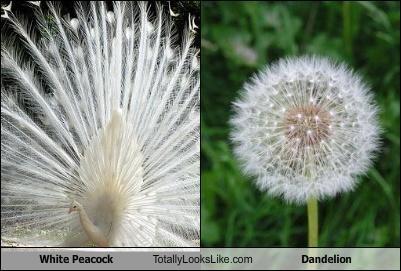 White Peacock Totally Looks Like Dandelion