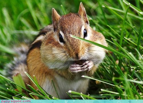 acorns,cheeks,chipmunk,grass,pouches,stuffed