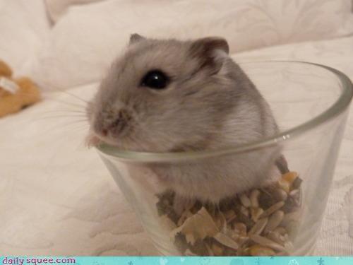 careful,dwarf,food,hamster,mistake,noms,russian dwarf hamster,trail mix,warning