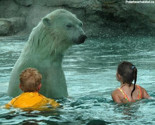 Swimming With Polar Bears of the Day