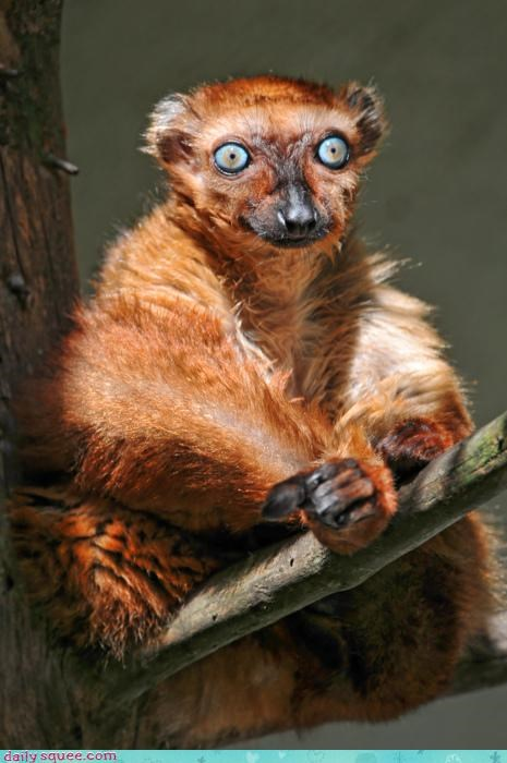 Acting Like Animals: All Glory to the Hypno-Lemur