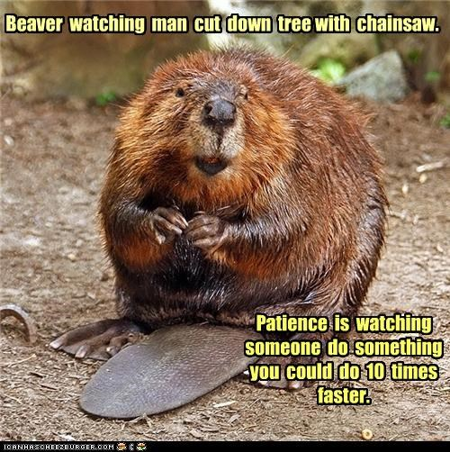 Beaver  watching  man  cut  down  tree with  chainsaw.