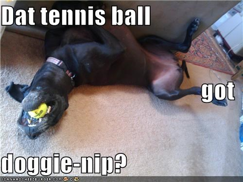 Dat tennis ball got doggie-nip?