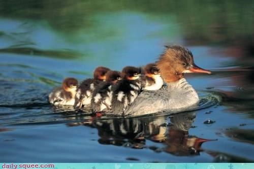 acting like animals,announcement,boarding,carrying,duck,duckling,ducklings,ducks,ferry,last call,traveling