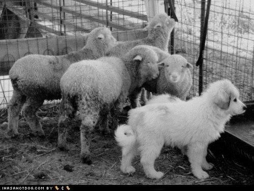 blending in,coat,ewe,floofy,great pyrenees,lamb,puppy,sheep,themed goggie week,white