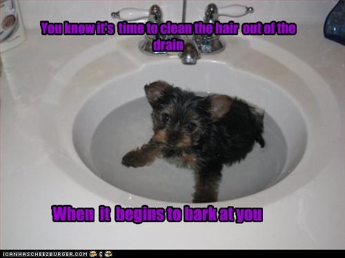bark,barking,clean,drain,hair,Hall of Fame,puppy,sign,sink,starts,time,yorkshire terrier