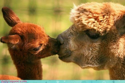 alpaca,alpacas,apocalypse,baby,family,KISS,kissing,lips,love,mother,pun,sweet