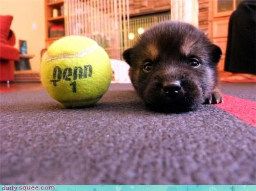 baby,comparison,dogs,german shepherd,mixed breed,proof,puppy,same,size,tennis ball,tiny