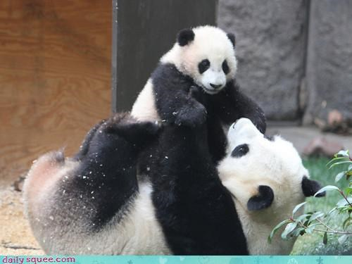 airplane,awesome,bear,bouncing,cub,flying,fun,game,happy,love,panda,panda bear,panda bears,parent,playing,playtime