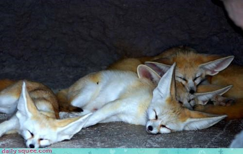 Sleeping Fennec Foxes