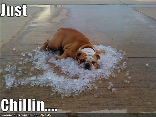 bed of ice,bulldog,cooling off,hot dog,hot outside,ice,ice cubes,relaxing,summer,temperature,that feels great