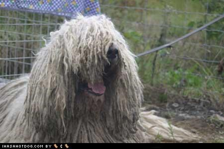 Happy Komondor is Happy