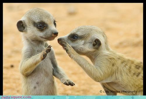 gossip,gossiping,meerkat,Meerkats,question,secret,squee spree,whispering