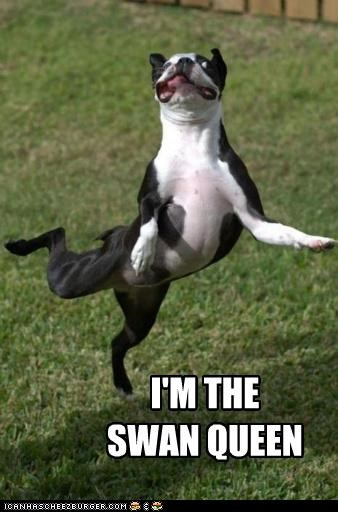 black swan,boston terrier,dancing,Hall of Fame,jumping,meme,memedogs,queen,quote,reference,swan