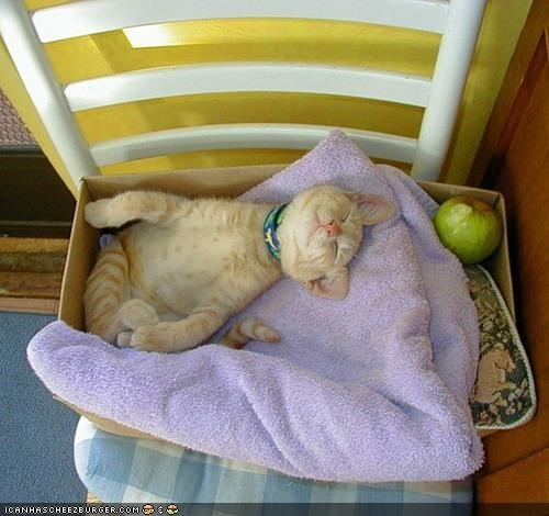 apple,asleep,box,cardboard box,comfort is relative,cyoot kitteh of teh day,towel