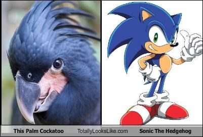 This Palm Cockatoo Totally Looks Like Sonic The Hedgehog
