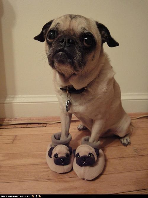 confused,dressed up,expression,fake,fashion,faux,funny,Hall of Fame,outfit,pug,recursion,slipper,slippers,wearing,weird,wtf