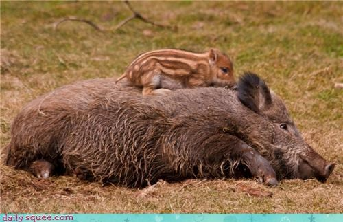 Baby Boar and mom