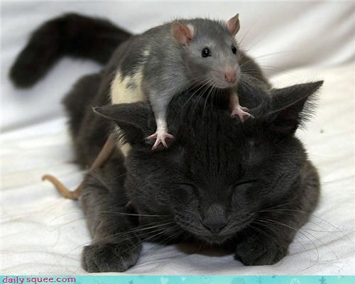 alliance,cat,duo,friends,friendship,noms,pair,plan,rat,strategy,trick